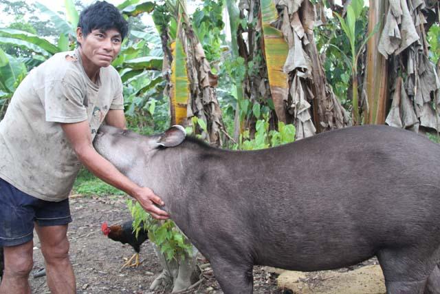 ゴロゴロは母親バクを射止めたが、そのバクが残した子バクを育ててペットにしている。野生動物でも一度ペットにすると食べない。