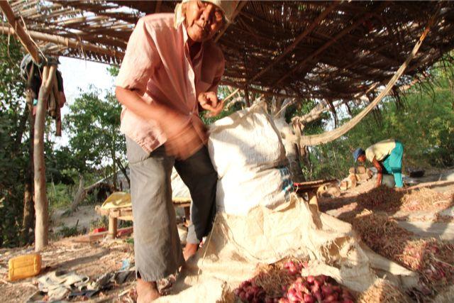 タマネギの収穫。